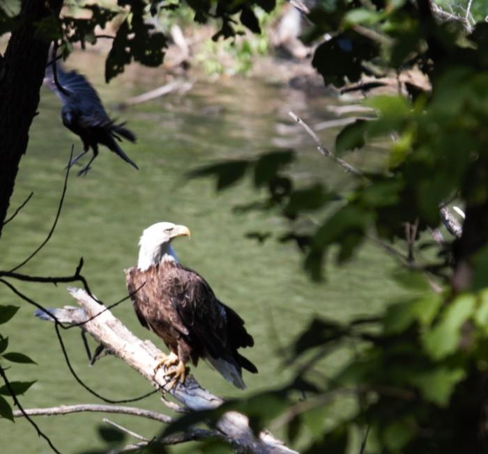 IMG_2120 eagle and crow (crop)